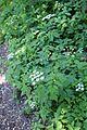 Chaerophyllum temulum kz1.JPG