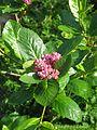 Chamaemespilus alpinus (8865968561).jpg