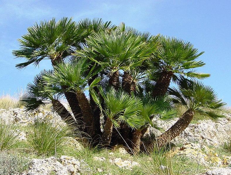 File:Chamaerops humilis (Zingaro)016.jpg