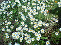 Chamomile Flowers Grow Naturally in Redjas (Algeria) 1.jpg