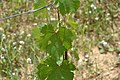 Chenin - leaves.jpg