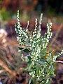 Chenopodium berlandieri NPS-1.jpg