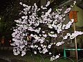 """Cherry-Blossom-Viewing through the """"Tunnel"""" at Japan Mint in 201504 051.JPG"""