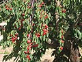 Cherry Tree Leb.jpg