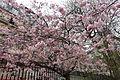 Cherry flower blossom @ Cluny garden @ Paris (26130142901).jpg