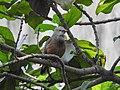 Chestnut-tailed starling 02.jpg