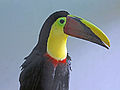 Chestnut Mandibled Toucan RWD.jpg