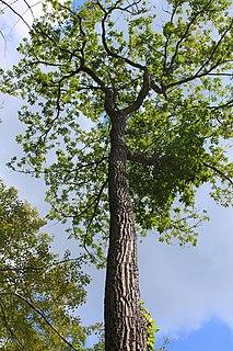 <i>Quercus montana</i> species of plant