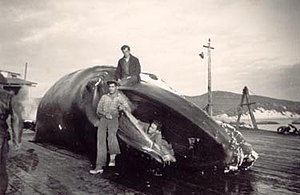 Whaling in Western Australia - A whale being processed at Cheynes Beach Whaling Station in the early 1950s
