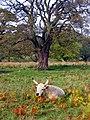Chillingham Wild White - geograph.org.uk - 82955.jpg