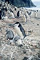Chinstrap penguin and chicks on Seal Island, 1993-94 Austral Summer.jpg