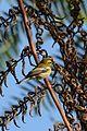 Chipe Negroamarillo, Townsend's Warbler, Dendroica townsendi (11713408583).jpg