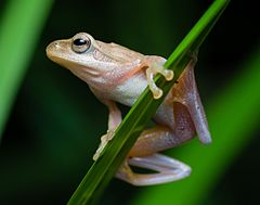 Chiromantis doriae, Doria's Asian tree frog (cropped).jpg