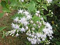 Chromolaena odorata - വേനപ്പച്ച - 005.JPG
