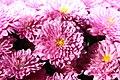 Chrysanthemum Padre 0zz.jpg