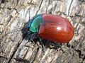 Chrysolina grossa male. - Flickr - gailhampshire.jpg