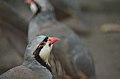 Chukar (Lahore Zoo) by Damn Cruze 5.jpg