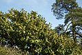 Church of St Mary Little Laver Essex England - churchyard flowering laurel with Scots pine.jpg