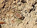 Cicindela sylvicola in Botevgrad, Bulgaria. Specimen 2.jpg