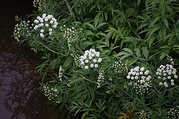 English: Cowbane or Northern Water Hemlock (Ci...
