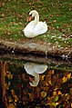 "Cincinnati - Spring Grove Cemetery & Arboretum ""Swan At Autumn Reflection"" (10464290876).jpg"