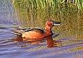 Cinnamon Teal on Seedskadee National Wildlife Reufge (26815336605).jpg
