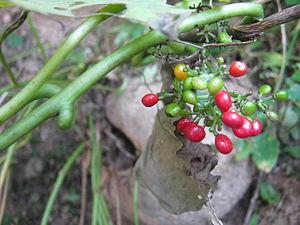 Cissampelos pareira - Cissampelos pareira with bulb and fruits found in Panchkhal, Nepal