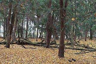 Stromy tisu v lese