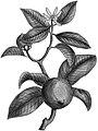 Citrus aurantifolia BYN.jpg