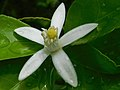Citrus limon (flower).jpg