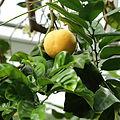 Citrus maxima-IMG 0643.JPG