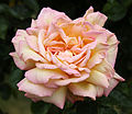 City of London Cemetery - flowering shrubs 17 Rose, Detail 01.jpg