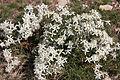 Clématite vigne blanche-Clematis vitalba-Calvisson-20140806.jpg