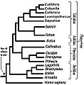 Cladograma Platyrrhini.jpg