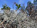 Cladonia arbuscula 01.jpg