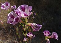 Clarkia williamsonii