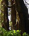 Clayoquot-Orca Resort Lodge Alsharo Spirit tree.jpg