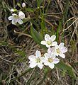 Claytonia lanceolata - Flickr - brewbooks.jpg