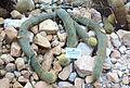 Cleistocactus icosagonus - Botanischer Garten, Dresden, Germany - DSC08886.JPG