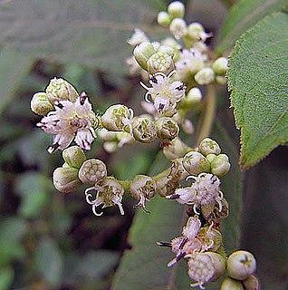<i>Clibadium</i> genus of plants