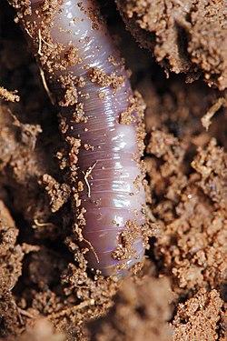 Close up of an earthworm in garden soil