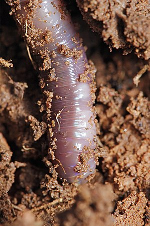 Earthworm - Close up of an earthworm in garden soil