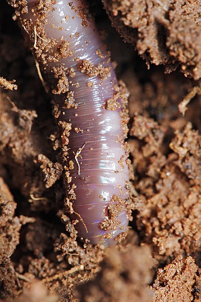 File:Close up of earthworm.jpg