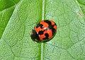Coccinellidae (37346346575).jpg