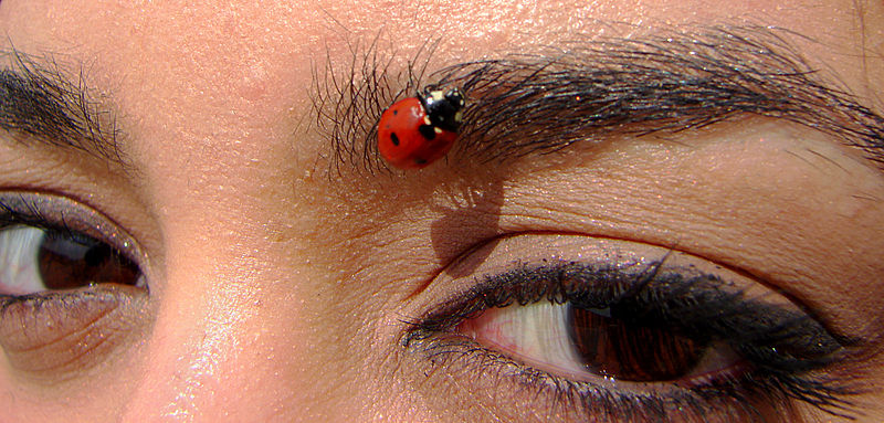 File:Coccinellidae and eyes.jpg