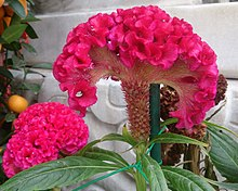 220px-Cockscomb_%28Celosia_argentea_var._cristata%29.jpg