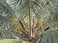 Coconut Tree inside the Kannur Fort, Kerala.jpg