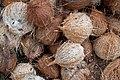 Coconuts, Shaheed Island, Andamans.jpg
