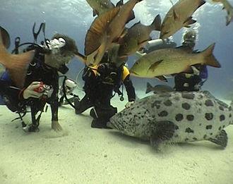 Cod Hole - Divers feeding potato cod at Cod Hole.