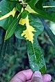 Codiaeum variegatum 24zz.jpg